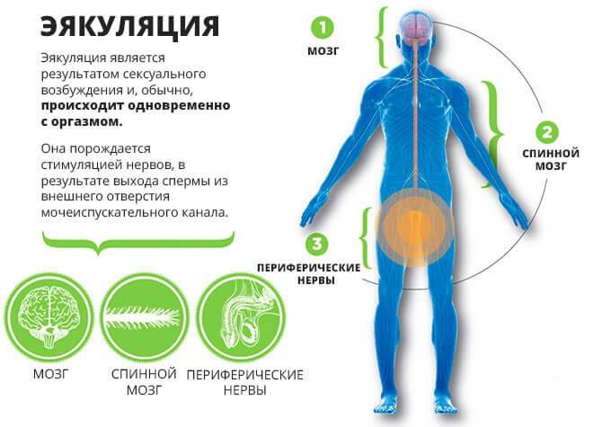 Физиологические основы семяизвержения