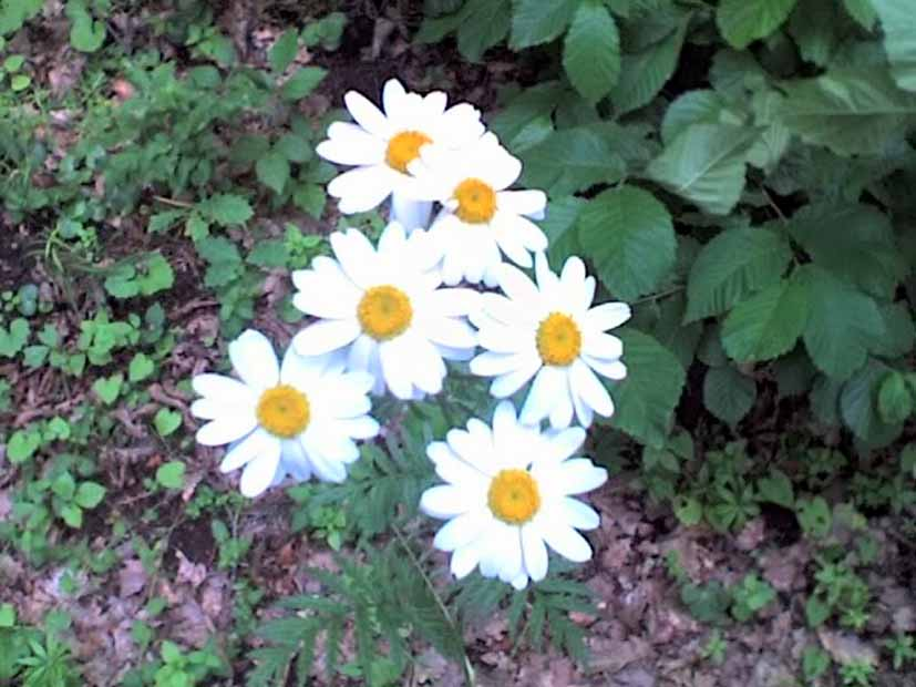 Растения-афродизиаки