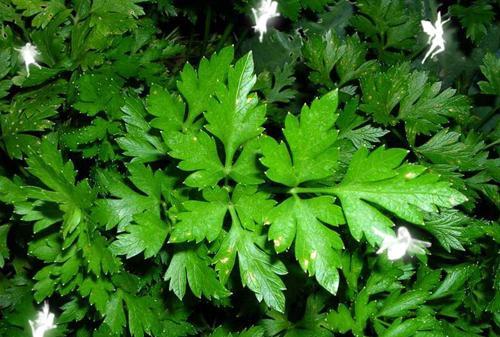 Петрушка: зелёный афродизиак