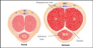 Физиология процесса образования эрекции